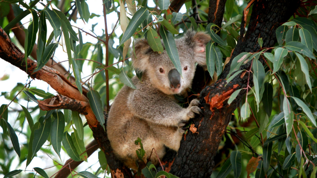 Article image for No secret in the killing of nearly 700 koalas in Victoria