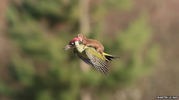 Article image for Free riding weasel has twitter all a flutter