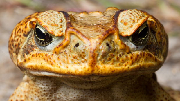 Article image for Cane toad venom joins fight against some cancers.