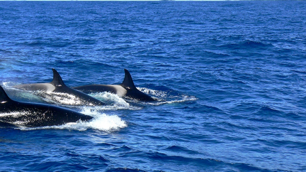 Article image for Killer whales making WA home