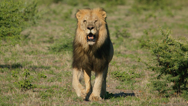Article image for Perth man recounts moment lion attacked
