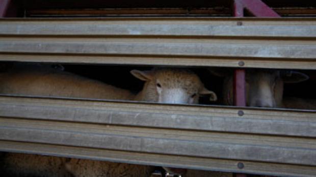 Article image for Sheep shearing Terror