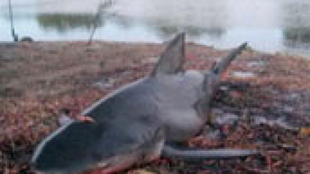Article image for Bull shark caught in river