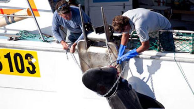 Article image for Shark hunter has no regrets
