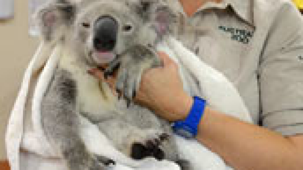 Article image for That's one tough koala