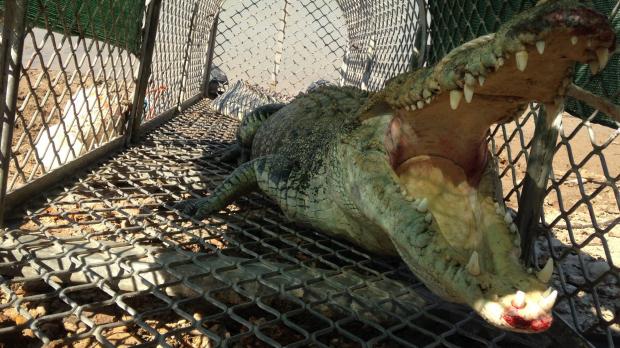 Article image for 300kg crocodile captured