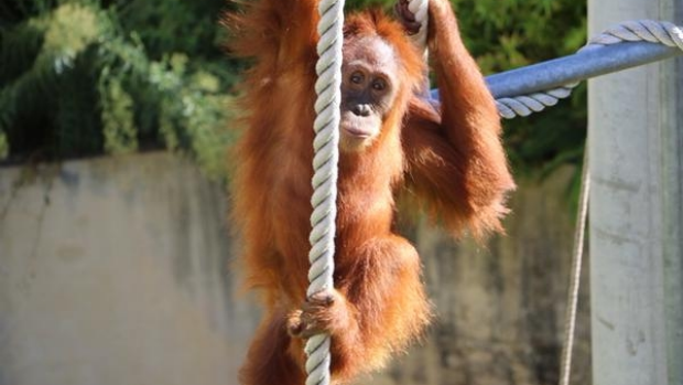 Article image for Orangutan escape from Perth Zoo