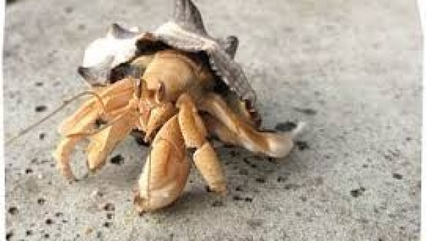 Article image for Are they really crazy crabs?