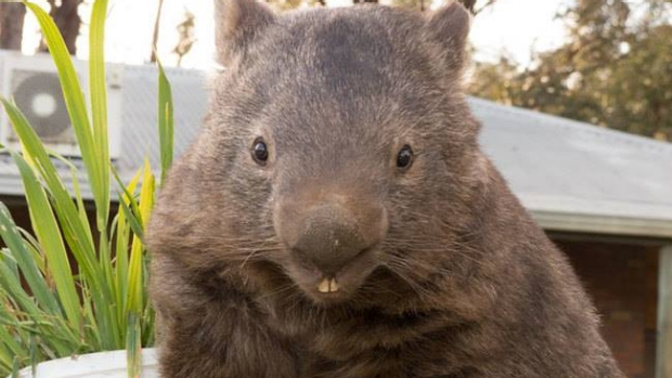 Article image for 99 problems but a wombat ain't one