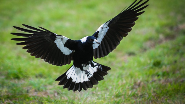 Article image for Why you're being swooped by magpies
