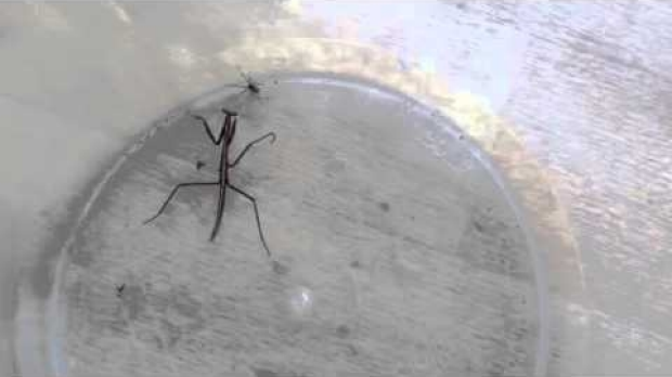 Article image for Brian the praying mantis