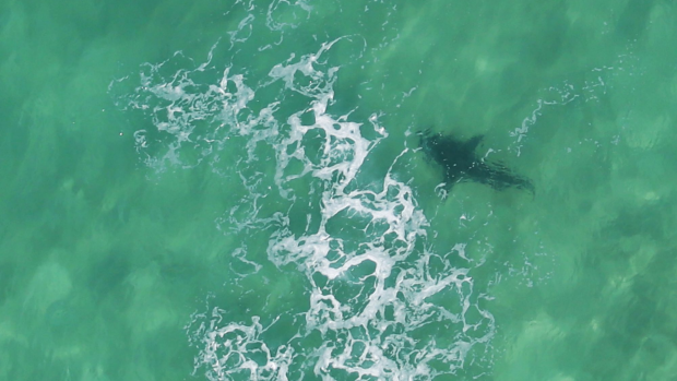 Article image for Shark numbers remain unknown
