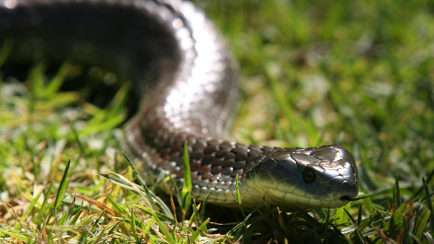 Article image for Snakes emerge across Perth