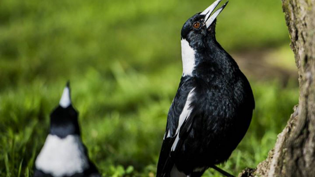 Article image for Refugee magpies fighting one another in Perth