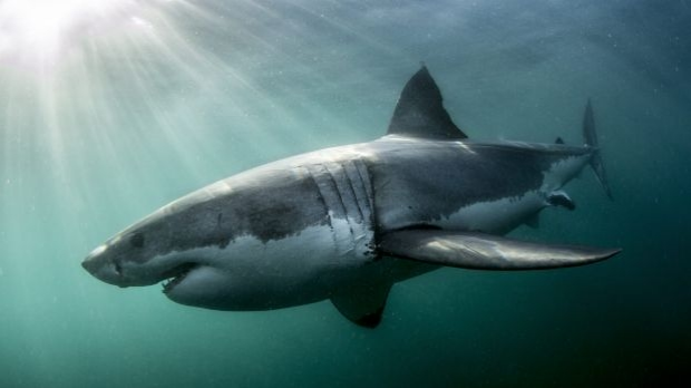 Article image for Shark-spotting drones to be trialled at WA beaches