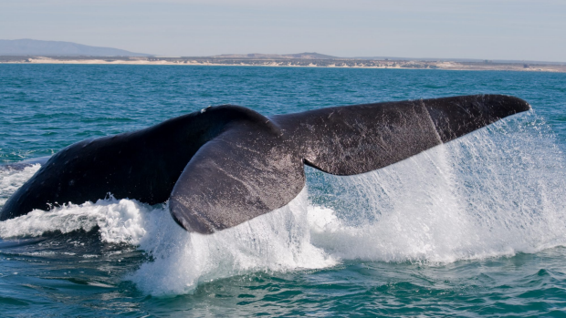 Article image for Historic data to help whales