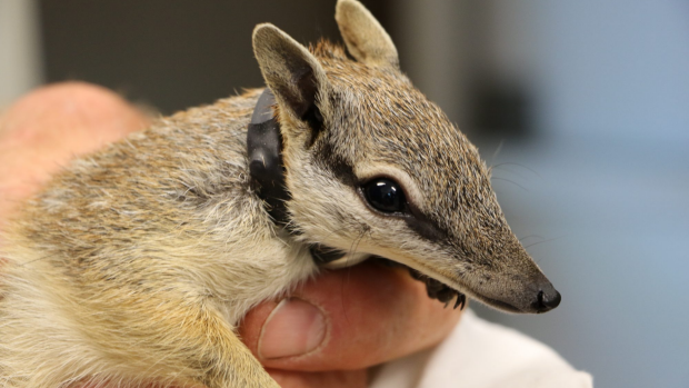 Article image for Numbats into the wild