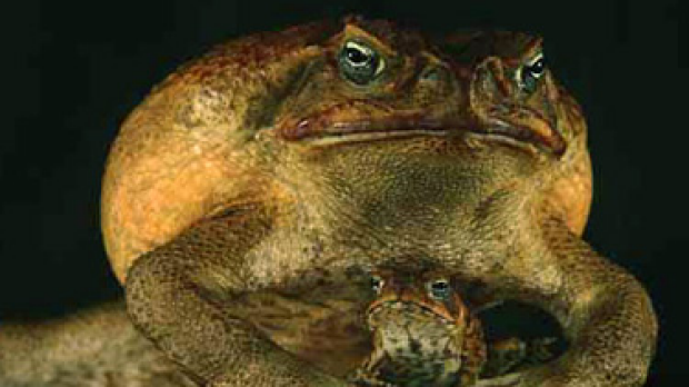 Article image for Toads for dinner?