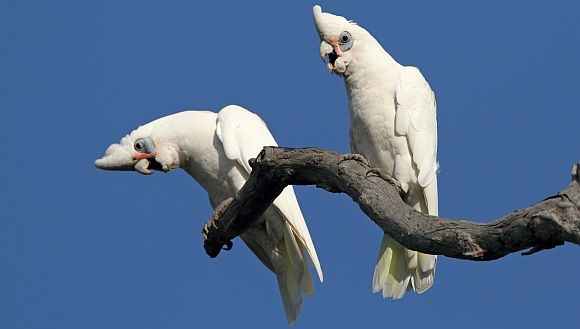 Article image for Corella cull