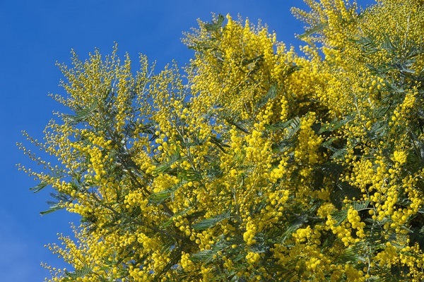 Should we move Australia Day to Wattle Day?
