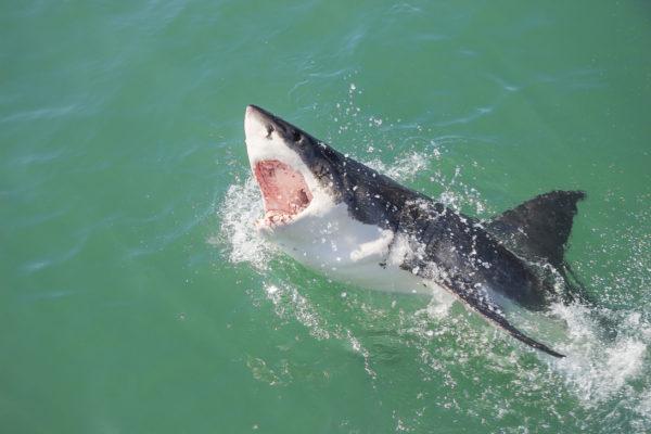 East should follow WA's lead on sharks: Senate Report