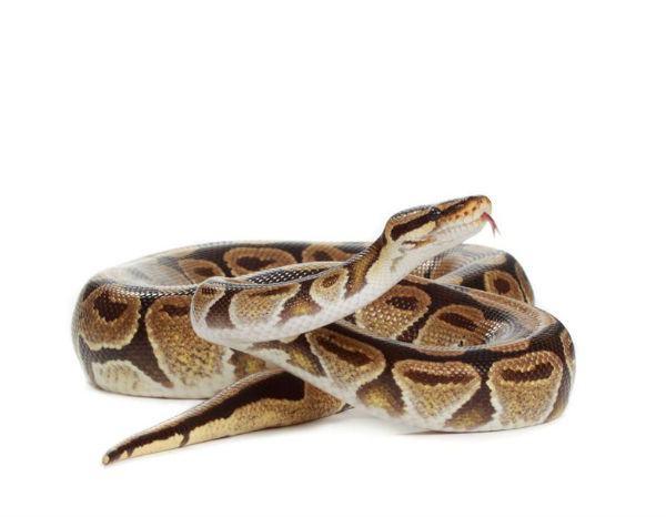 Missing Python found in a toilet