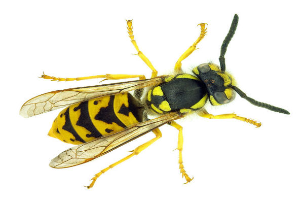 How to spot and stop the European Wasp in our gardens