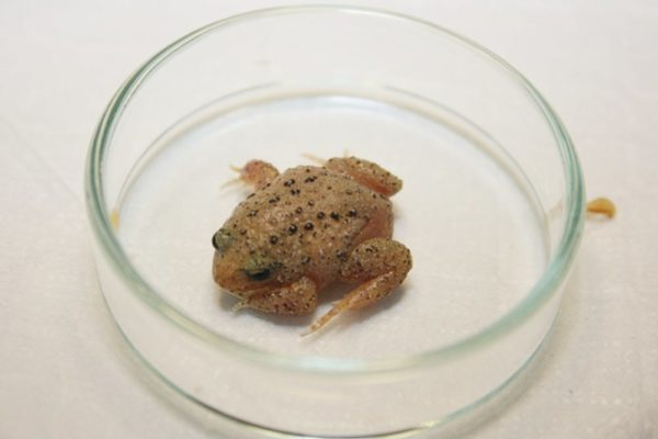 Artificial mud to help endangered frogs