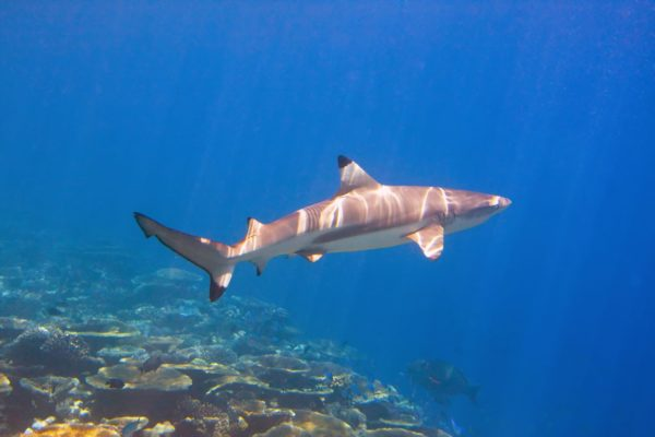 How declining shark numbers are effecting fish evolution