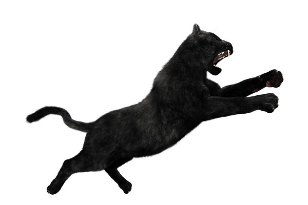 Is there a big, black cat in the Perth Hills?