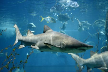 Paul Murray on why adolescent sharks pose a threat to public