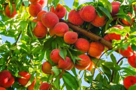 Taste of The West – Brett DelSimone – Peaches – February 24th