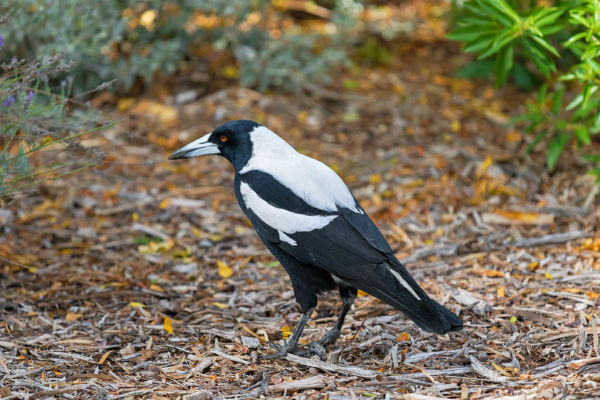 Why do magpies swoop?