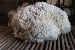 Where have all the shearers gone?