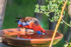 Australia losing it's birds