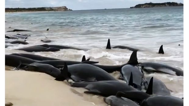 What causes mass whale beachings?