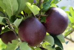 Taste of The West – Bravo Apples – Anne Lyster – Lyster Orchards – March 31st, 2018