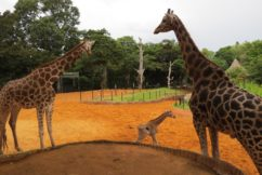 Perth Zoo welcomes the birth of female giraffe calf