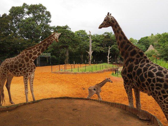 Perth Zoo welcomes the birth of female giraffe calf