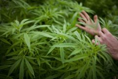 Greens move to legalise cannabis