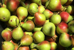 Taste of The West: Newton Brothers Orchards Goldrush pears