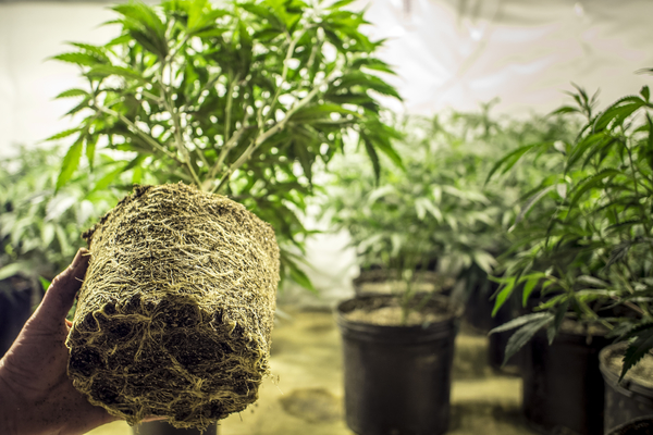 Article image for Police seize more than 7,500 cannabis plants (video)