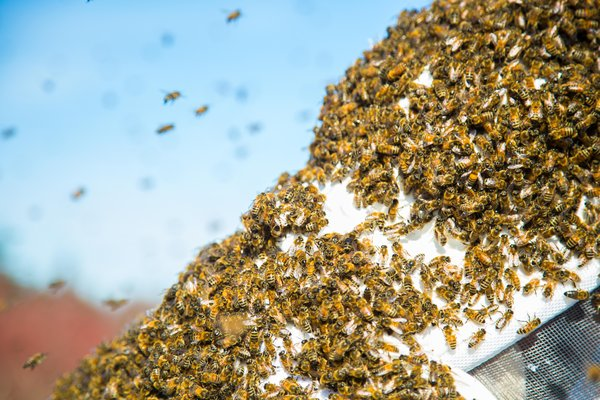 Got a bee in your bonnet? How about a swarm in your garden?