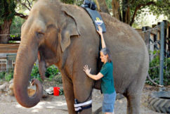 Elephant enclosure to close at Perth Zoo when Tricia dies