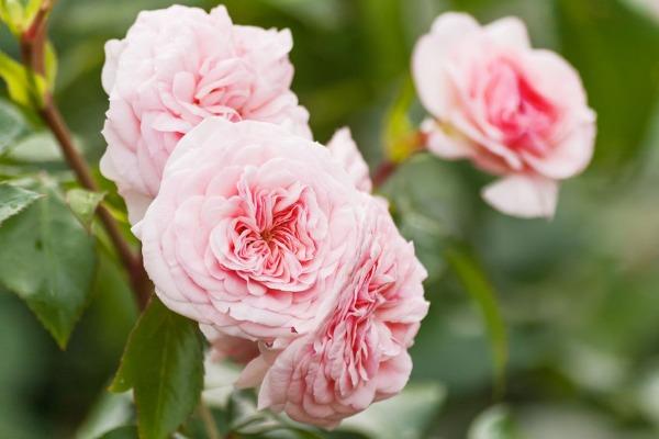 Legendary rose-grower David Austin has died at 92