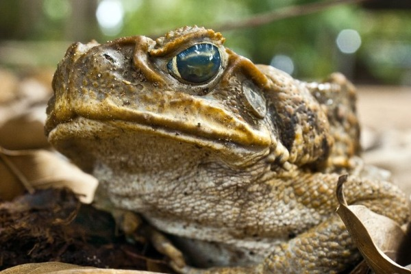 Will Pauline Hanson's pickup policy really help with the Cane Toads?