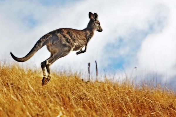 Who will pay for Baldivis roo relocation?