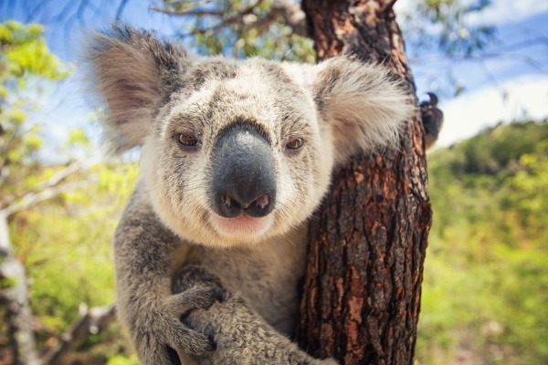 Koala populations declining alarmingly according to WWF