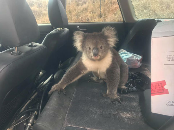Koala climbs in car to chill out