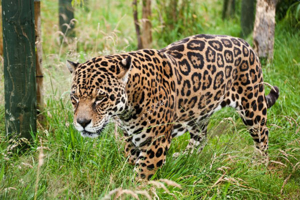 Keen photographer gets in jaguar enclosure